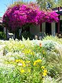 Guajome courtyard in spring (bougainvillea 150+ years old).JPG