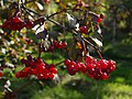 Guelder Rose berries - geograph.org.uk - 577570.jpg