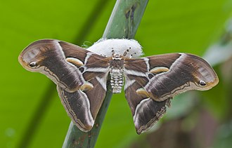 Samia (moth) - Samia cynthia