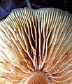 Gymnopilus sapineus 59204174.jpg