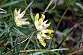 Hülsenfrüchtler (Fabaceae) IMG 6758.JPG