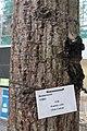 HK 香港大會堂紀念花園 City Hall Memorial Garden tree June 2017 IX1 木棉 Bombax ceiba tree.jpg