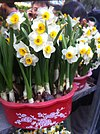 HK CWB 維園年宵市場 Victoria Park Fair - flowers white yellow plant Jan-2012 Ip4.jpg