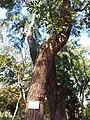 HK CWB 銅鑼灣 Causeway Bay 維多利亞公園 Victoria Park tree trunk n green leaves December 2019 SSG 07.jpg