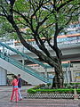 HK CWB HKCL tree 朴樹 Chinese Hackberry n escalators Nov-2013 07.JPG
