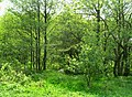 Habry, small forest.jpg