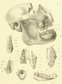 A reconstructed skull (missing part of the frontal bone) showing a shortened face and massive jaw. Six smaller drawings below it show various teeth and the auditory bulla.