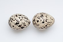 Image of Haematopus chathamensis eggs from the collection of Auckland Museum