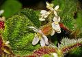 Hairy Begonia (Begonia conipila) (23050700794).jpg