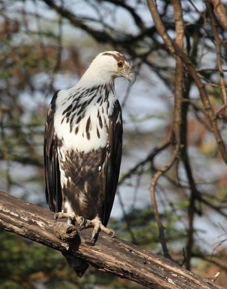 African fish eagle - A third-year juvenile in Tanzania
