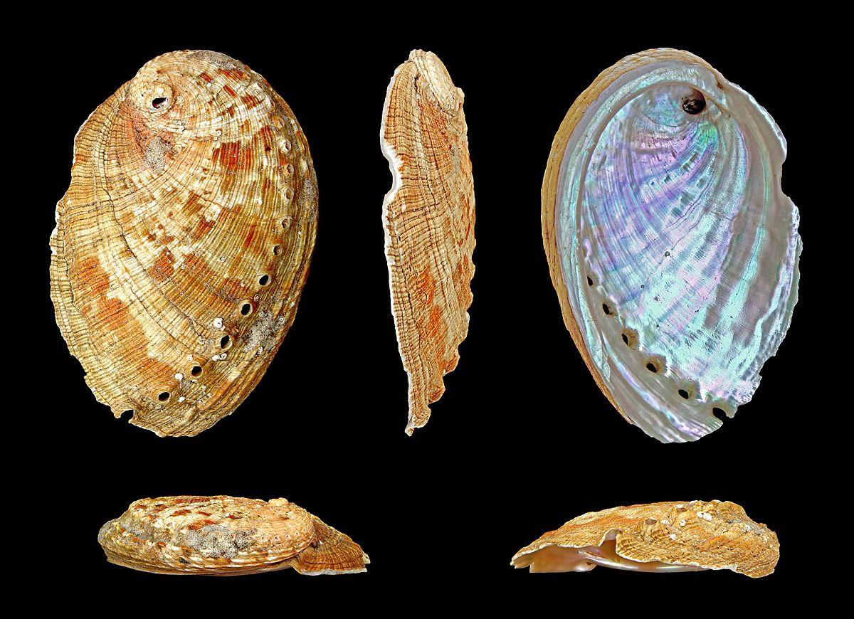 haliotis diversicolor � wikip233dia