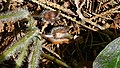 Haselwurz (Asarum europaeum) am Kolshorner Teich 01.jpg