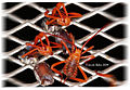 "Hatching ""true bugs"" (4710389069).jpg"