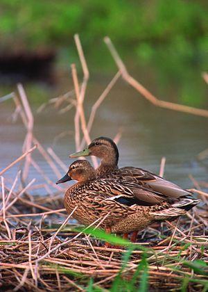 Hawaiian duck - Image: Hawaiian duck