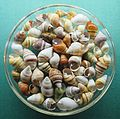Hawaiian tree snails at the Bernice Pauahi Bishop Museum.JPG