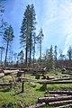 Hazard mitigation on the Sierra National Forest (24056630537).jpg