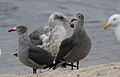 Heermann's gull, Larus heermanni, Moss Landing and Monterey Bay area, California, USA (30682424830).jpg