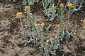 Helichrysum arenarium - Mainzer Sand IMG 5723.JPG