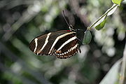 Heliconius charithonia in Secret Woods.JPG