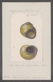 Helix edwardsi - - Print - Iconographia Zoologica - Special Collections University of Amsterdam - UBAINV0274 089 01 0072.tif