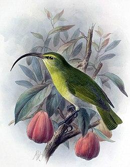 Hemignathus ellisianus1