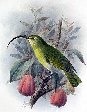 Oahu 'akialoa - Image: Hemignathus ellisianus 1