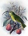 Hemignathus ellisianus1.jpg