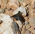 Hemipenthes cf velutina - Flickr - S. Rae.jpg