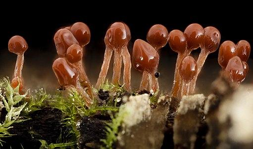 Hemitrichia, Lava Lamp Slime Mold 2014-07-01-12.21.16 ZS PMax (14367791348)