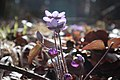 Hepatica nobilis 0564.jpg