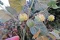 Herissantia crispa - Bladder Mallow at Theni (1).jpg