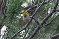Hermit Warbler (immature) Huachuca Canyon Sierra Vista AZ 2018-08-25 09-17-43 (48038364557).jpg
