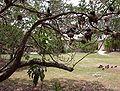 Heron Island, Australia - Black Noddys in a tree.JPG