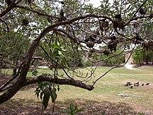 Heron Island-Fauna-Heron Island, Australia - Black Noddys in a tree