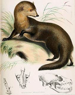 Short-tailed mongoose species of mammal