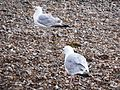 Herring Gull 017.JPG