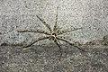 Heteropoda venatoria (44308254205).jpg