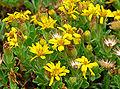 Heterotheca sessiliflora ssp bolanderi 2.jpg