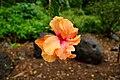 Hibiscus Hybrid @ Waimea Valley (5216502897).jpg