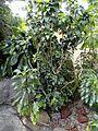 Hibiscus clayi - United States Botanic Garden - DSC09540.JPG
