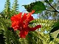 Hibiscus cultivar (433739332).jpg