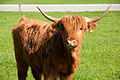 Highland cattle (14092287711).jpg