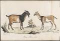 Hircus aegagrus - 1700-1880 - Print - Iconographia Zoologica - Special Collections University of Amsterdam - UBA01 IZ21300253.tif