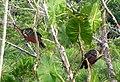 Hoatzin. Ophisthocomus hoazin - Flickr - gailhampshire.jpg