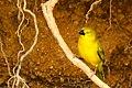 Holub's Golden Weaver 135 DSC6013.jpg