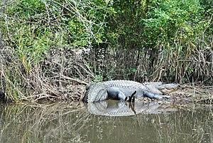 Honey Island Swamp - Wildlife at Honey Island Swamp, alligator