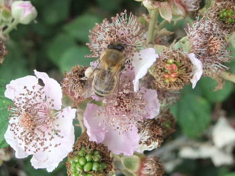File:Honey bee on blackberry flowers, Bedfordshire (4805377944).jpg