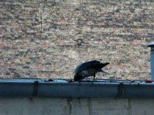 Datei:Hooded Crow (Corvus cornix) cleans rain gutter.webm