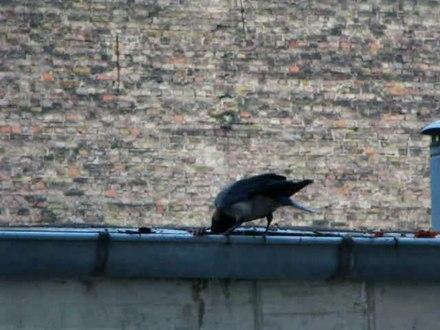 File:Hooded Crow (Corvus cornix) cleans rain gutter.webm