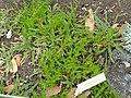 Horkeliella purpurascens - University of California Botanical Garden - DSC09049.JPG